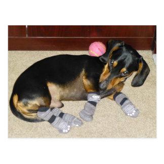 Cute Dachshund Wearing Socks Postcard