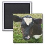Cute Dairy Cow Calf Refrigerator Magnet