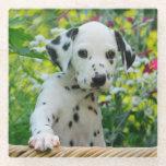 Cute Dalmatian Dog Cute Puppy Photo, Table-Decor Glass Coaster