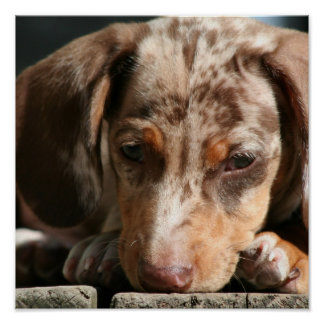 Cute Daschund Puppy Poster