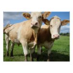 Cute Devon Cows near Fursdon Photograph Print