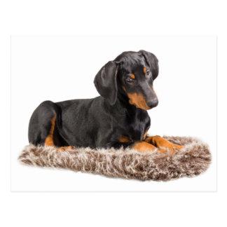 cute doberman pinscher puppy postcard