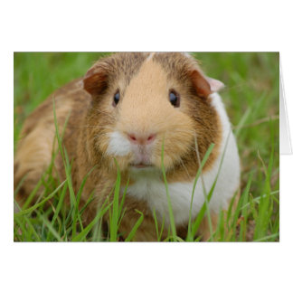 Cute Domestic Guinea Pig Card