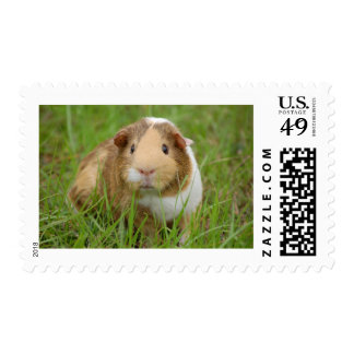 Cute Domestic Guinea Pig Postage