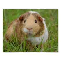 Cute Domestic Guinea Pig Poster