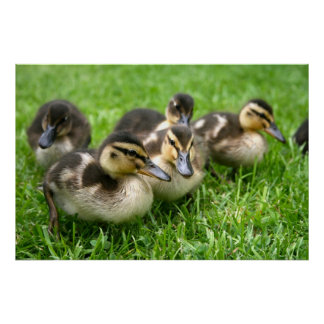 Cute Ducklings Poster