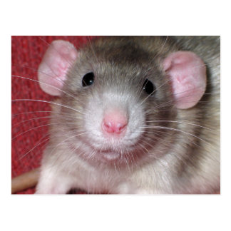 Cute Dumbo Rat Post Cards