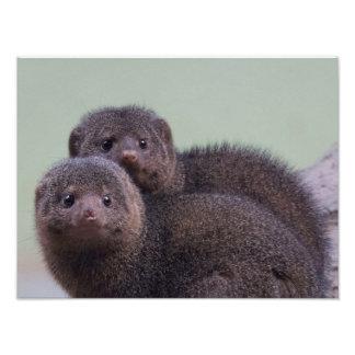 Cute Dwarf Mongoose Pair Photo Print