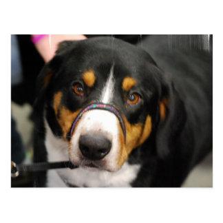 Cute Entlebucher Mountain Dog Postcard