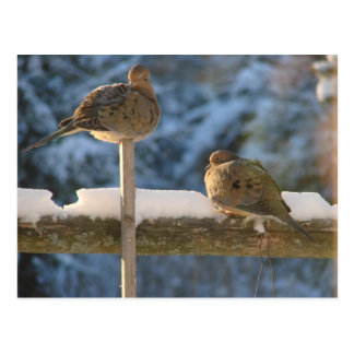Cute Fat Morning Doves On The Post Post Card
