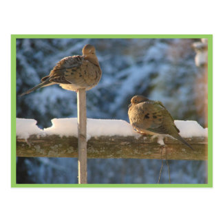 Cute Fat Morning Doves On The Post Postcard
