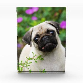 Cute fawn pug puppy award