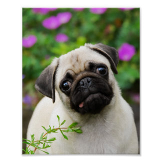 Cute fawn pug puppy poster