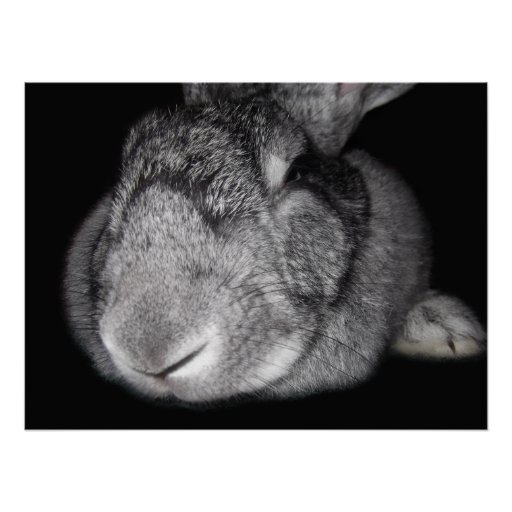 Cute Flemish Giant Nose Close-Up Posters