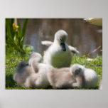 Cute fluffy cygnet baby swan poster, print, gift