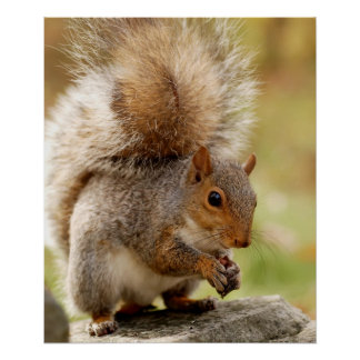 Cute Fluffy Squirrel Posters
