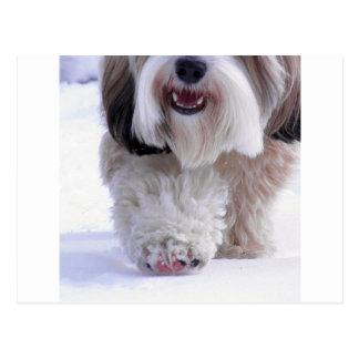 Cute Fluffy Tibetan Terrier Snow Paw Postcard