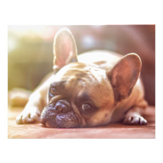 Cute French Bulldog Face, Lying Down Letterhead