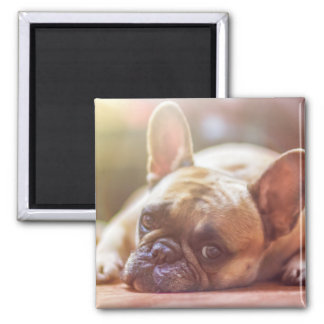 Cute French Bulldog Face, Lying Down Magnet