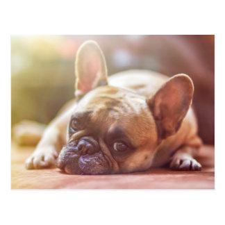 Cute French Bulldog Face, Lying Down Postcard