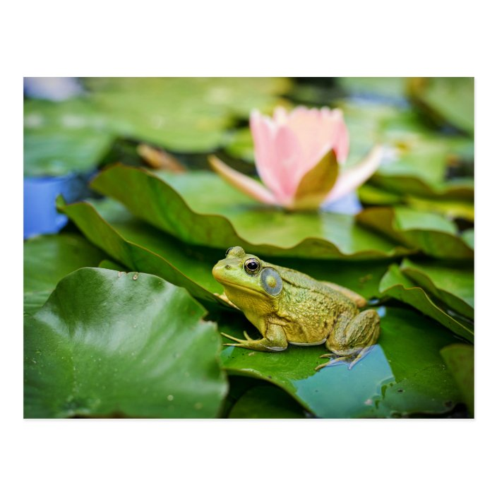 Cute Frog On Lily Pad Photo Postcard Zazzle Com