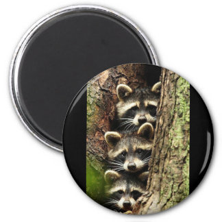 cute_funny_animals_41 Three Raccons Tree trunk 2 Inch Round Magnet