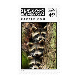 cute_funny_animals_41 Three Raccons Tree trunk Postage