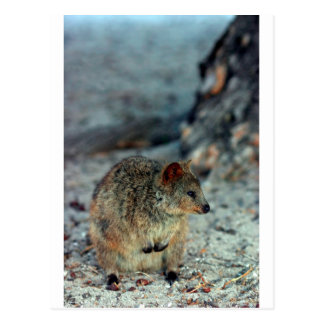 Cute fury Quokka on Rottnest Island Postcard