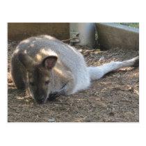 Cute Fuzzy Wallaby Animal Postcards