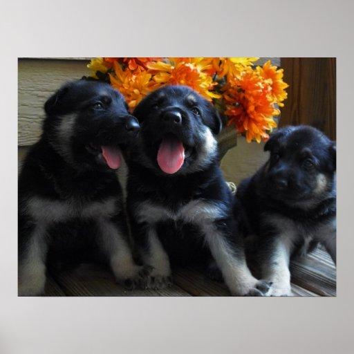 Cute German Shepherd Puppies Poster