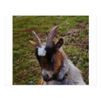 Cute Goat. Postcard