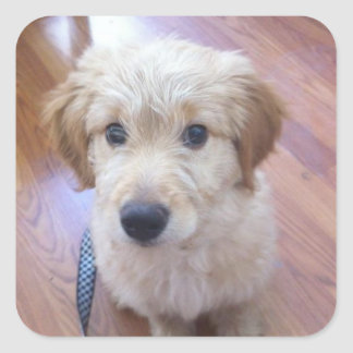 Cute GoldenDoodle puppy pictures Square Sticker