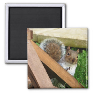 Cute Gray Squirrel Magnet