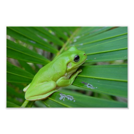 Cute Green Candid Frog On The Leaf Of Palm Poster
