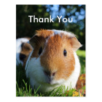 Cute Guinea Pig Thank You Postcard