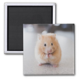Cute hamster 2 inch square magnet