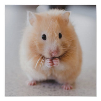 Cute Hamster Close-Up poster