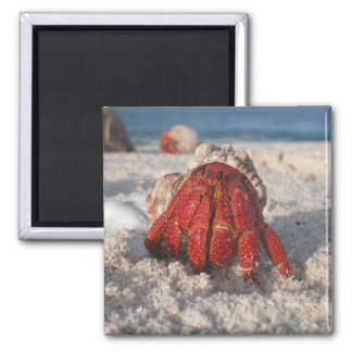 Cute Hermit Crab on White Sandy Beach Closeup 2 Inch Square Magnet