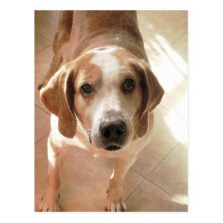 Cute Hound Dog Portrait Photo Postcard