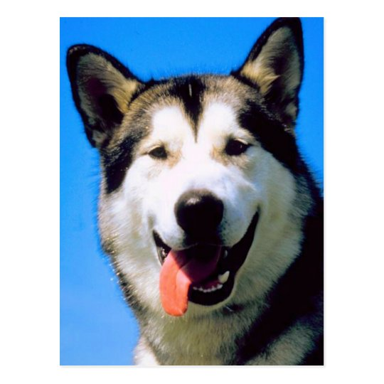 Cute husky dog color photograph postcard