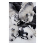 cute husky puppies poster