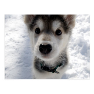 Cute husky puppy color photograph postcard