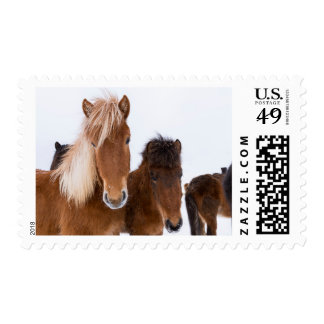 Cute Icelandic Horses Together Postage