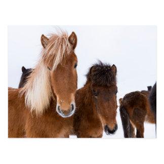 Cute Icelandic Horses Together Postcard