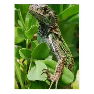 Cute Iguana in a Bush Postcard