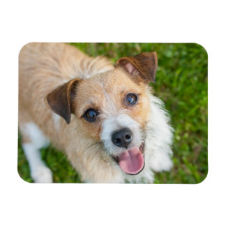 Cute Jack Russell terrier dog photo magnet
