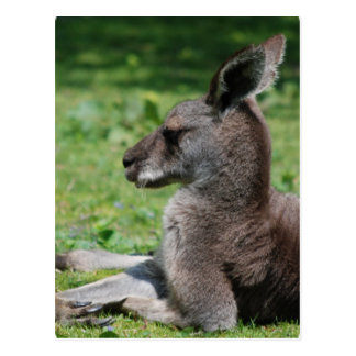Cute Kangaroo Postcards