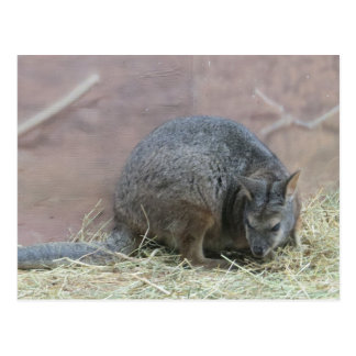 Cute Kangaroo Rat Postcard