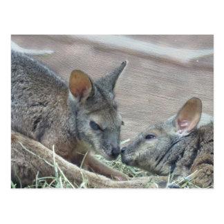 Cute Kangaroo Rats Postcards