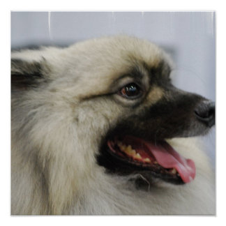 Cute Keeshond Posters